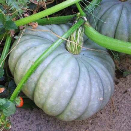 Blue_Pumpkin-500x500