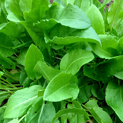 frenchsorrel