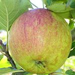 cox-apple-150
