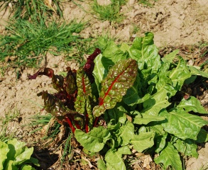 Sussex_Biodynamic_Rainbow_Chard