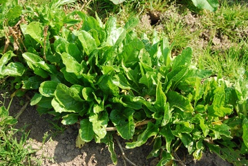 Sussex_Biodynamic_Spinach